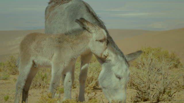 donkeys, atacama desert - donkey stock videos & royalty-free footage
