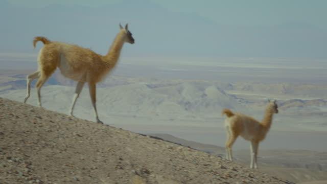 llamas in landscape, atacama desert 4k - two animals stock videos and b-roll footage