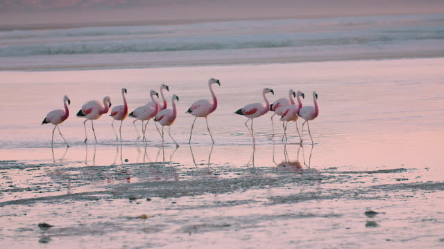 vídeos de stock, filmes e b-roll de flamingos walking in laguna colorada, bolivian altiplano - 1 minuto ou mais