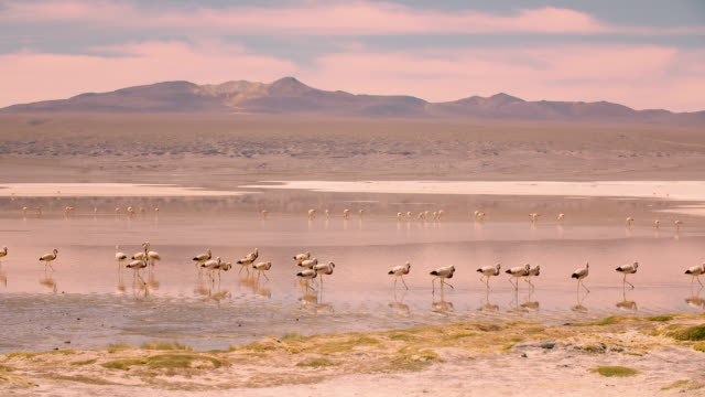 flamingos in laguna colorada, bolivian altiplano 4k - group of animals stock videos & royalty-free footage
