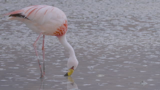 flamingo, bolivian altiplano - bolivia stock videos & royalty-free footage