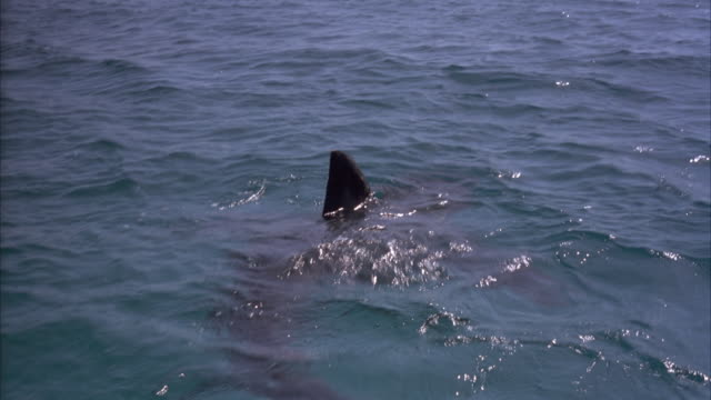 stockvideo's en b-roll-footage met tracking shot moving pov of shark moving through water. dorsal fin sticks out of water. - 1991