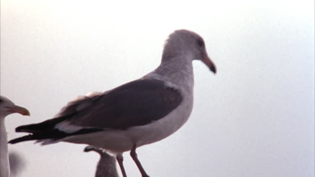 CLOSE ANGLE OF SEAGULL ON ROCK WITH OTHER SEAGULLS IN BACKGROUND.