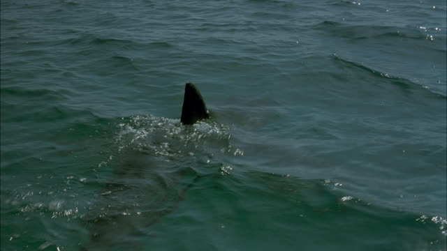 MEDIUM ANGLE MOVING POV OF SHARK MOVING THROUGH WATER, DORSAL FIN STICKS OUT OF WATER.