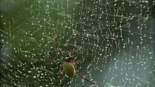 MEDIUM ANGLE OF SPIDER CRAWLING UP SPIDER WEB. SPRAYS OF WATER IN FRAME NEAR START OF SHOT.