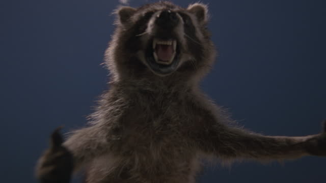 CLOSE ANGLE OF STUFFED OR TOY RACCOON  WITH ANGERED FACE AND SHARP TEETH COMING TOWARD CAMERA, POV OF VICTIM. COULD BE ATTACK. COULD BE BLUE SKY OR BLUE SCREEN BACKGROUND.