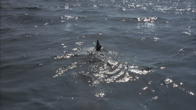 TRACKING SHOT MOVING POV OF DORSAL FIN FROM SHARK MOVING THROUGH WATER, DISAPPEARS DOWN UNDERWATER. NEG CUT.