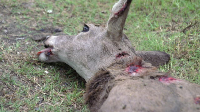 close angle of wounded or dead animal on grass. deer. open wounds or lacerations on animal, as well as flies and small bugs. gore. - dead animal stock videos & royalty-free footage