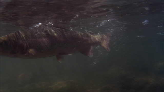 CLOSE ANGLE OF FISH, PROBABLY TROUT, FLAPPING AROUND IN WATER UNDERWATER. FISH IS ON LINE, PROBABLY FROM FISHING.