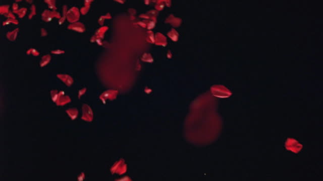 stockvideo's en b-roll-footage met up angle of tossed flower or rose petals falling against black background. effects. could be for ceremony of celebration. - bloemblaadje