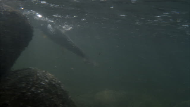 CLOSE ANGLE UNDERWATER OF FISH, POSSIBLY TROUT, MOVING AROUND, PROBABLY STRUGGLING AGAINST FISHING LINE. MOVES SIDE TO SIDE AND TURNS UNDERWATER.