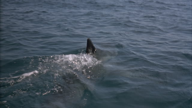 tracking shot moving pov of shark moving through water. dorsal fin sticks out of water, then moves underwater. - dorsal fin stock videos and b-roll footage