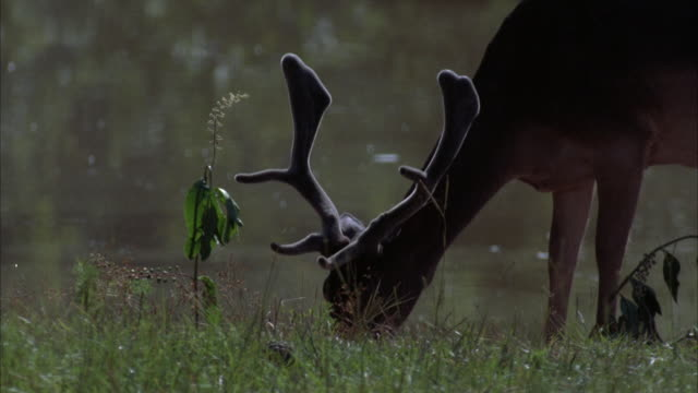 stockvideo's en b-roll-footage met medium angle of a male deer grazing on the grass below. see trees and grasses in background. - grazen