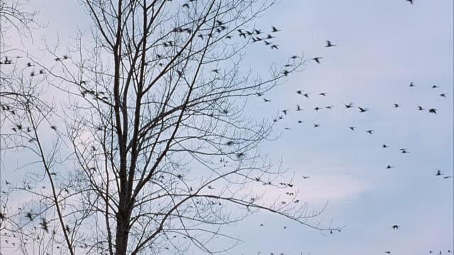 medium angle of bare tree in foreground. large flock of geese fly to right. - bare tree bildbanksvideor och videomaterial från bakom kulisserna
