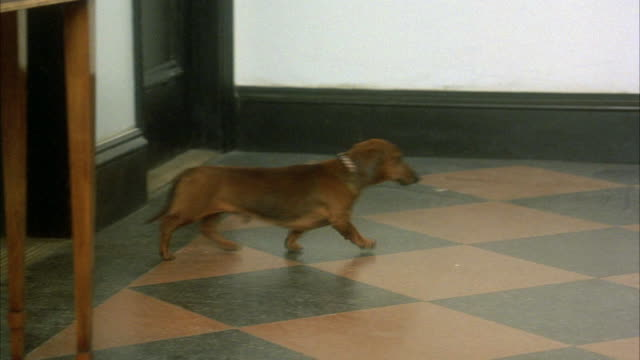 WIDE ANGLE ON A DACHSHUND DOG WALKING ACROSS HALLWAY FROM L-R.