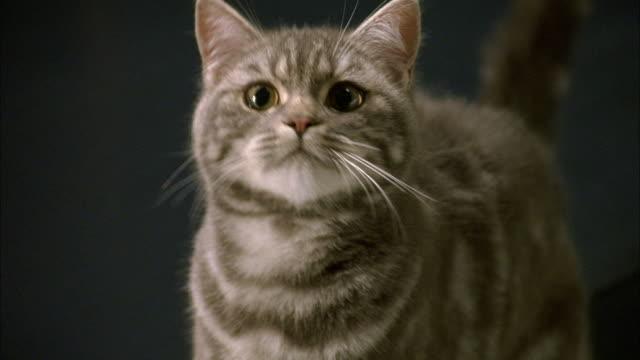 CLOSE ANGLE OF GRAY TABBY CAT. SEE CAT LOOK UP TOWARDS POV.