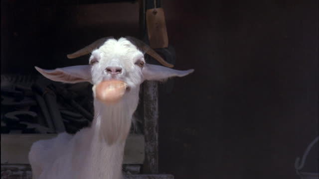 pan up from slender legs of white goat to its head. goat has long white beard and curved horns. goat has food hanging out of mouth. goat tosses head back in attempt to swallow food. - white bread stock videos and b-roll footage