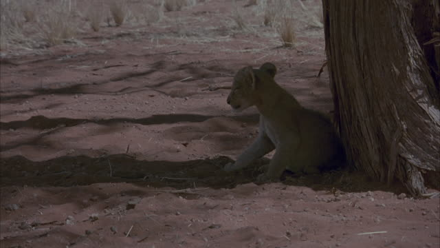 medium angle of baby lion cub sitting in shade of tree. see it walk to left of shot. another baby lion joins it and the two rub against each other briefly. camera pans back to tree. - 1914年点の映像素材/bロール