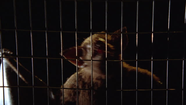 close angle of screeching bat in wire cage. could be vampire bat with fangs. animals. - käfig stock-videos und b-roll-filmmaterial