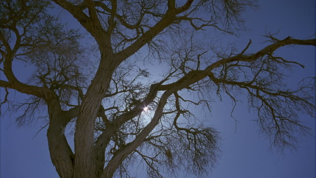 stockvideo's en b-roll-footage met up angle of bare-branched tree. see sun shining through the delicate thin branches of the tree. see clear blue sky. - bare tree