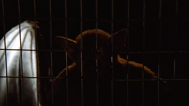 CLOSE ANGLE OF SCREECHING BAT IN WIRE CAGE. COULD BE VAMPIRE BAT WITH FANGS. ANIMALS.