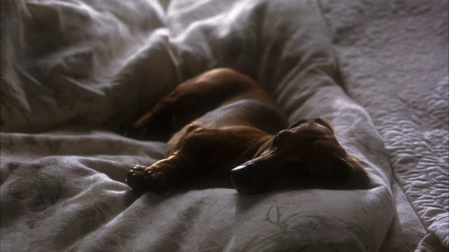 EST MEDIUM ANGLE ON A DACHSHUND DOG LAYING ON TOP OF COMFORTER OF BED.