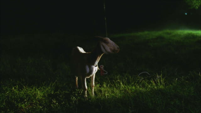 medium angle of goat standing in middle of field. lights from flashlights shine on animal. - electric torch stock videos & royalty-free footage
