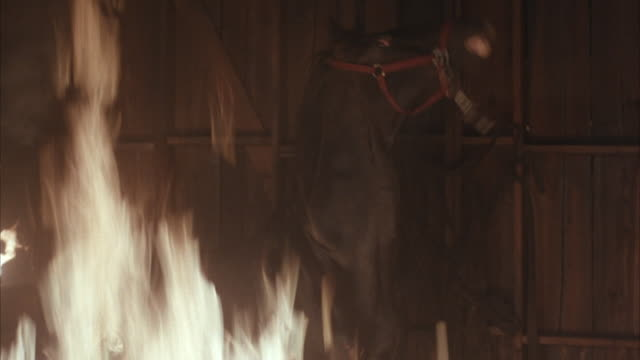 vidéos et rushes de medium angle of horse rearing up on hind legs in barn on fire. see flames in left foreground.horse is lead out of barn, probably by trainer. animals. - grange
