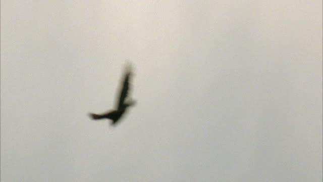 vidéos et rushes de medium angle of hawk or bird flying in sky. - rapace