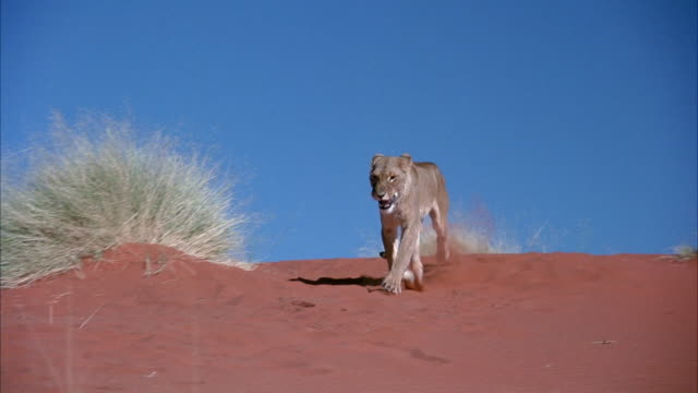 medium angle of desert sand with blue sky. see green weeds in foreground. see lioness walk forward. - 1914年点の映像素材/bロール