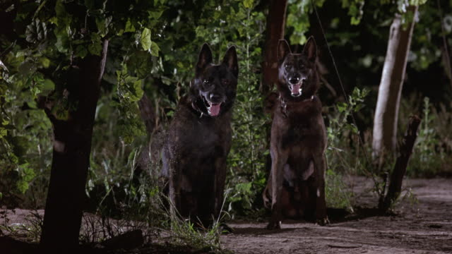 MEDIUM ANGLE OF TWO GERMAN SHEPHERD DOGS SITTING NEXT TO EACH OTHER. SEE DOG'S BREATH. COULD BE GUARD DOGS OR ATTACK DOGS. COULD BE DUTCH SHEPHERDS.
