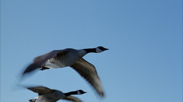 vídeos y material grabado en eventos de stock de medium angle tracking shot of handful of geese flying in formation right above surface of lake or body of water. close up of leading goose. forest in background. - pájaro acuático