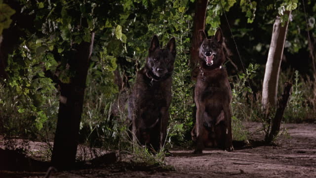 MEDIUM ANGLE OF TWO BLACK GERMAN SHEPHERD DOGS SITTING NEXT TO EACH OTHER. SEE DOG'S BREATH. COULD BE GUARD DOGS OR ATTACK DOGS. COULD BE DUTCH SHEPHERDS.