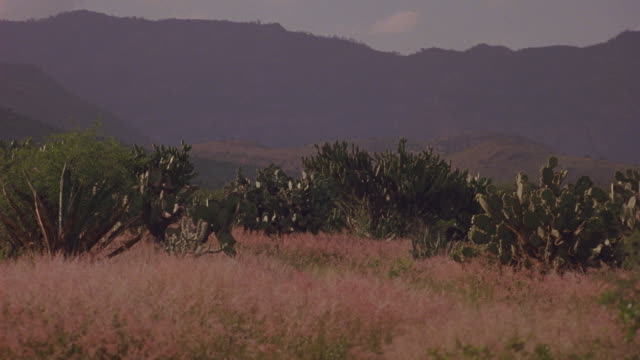 stockvideo's en b-roll-footage met medium angle of desert area. see cactys, bushes, shrubs, and dry weeds in foreground. see mountains in background. - vetplant