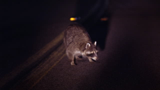 MEDIUM ANGLE OF RACCOON IN MIDDLE OF ROAD, STREET, OR FREEWAY. HEADLIGHTS FROM CAR LIGHT UP CENTERLINE AND RACCOON.