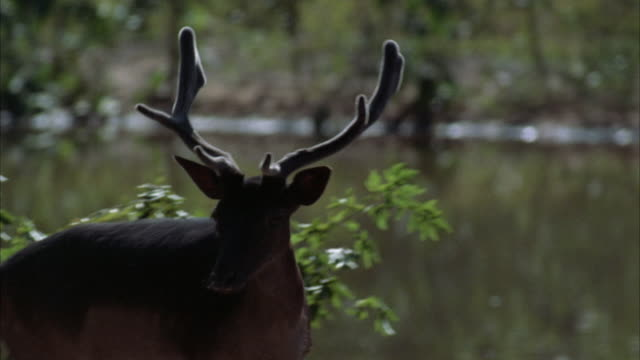 MEDIUM ANGLE OF A MALE DEER TURNING TO LEAN HEAD DOWN AND GRAZE ON VEGETATION BELOW. SEE LAKE IN BACKGROUND.