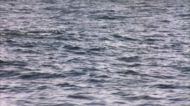 HAND HELD FROM BOAT OF WHALE'S TAIL OR FLUKE ABOVE OCEAN WATER'S SURFACE. TAIL EMERGES THEN DROPS BACK IN WATER. CAMERA IS SHAKY ON ANIMAL.