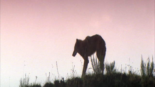 MEDIUM ANGLE OF THE SILHOUETTE OF A WOLF STANDING ON TOP OF A HILL WITH REEDS AND GRASSES. SEE INJURED WOLF START TO WALK DOWN HILL WHEN IT FALLS OVER AND STRUGGLES TO GET BACK UP.