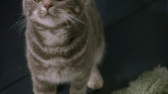 CLOSE ANGLE OF GRAY TABBY CAT. SEE CAT LOOK UP TOWARDS POV. SEE CORNER OF TOILET. ANIMAL HANDLER'S HAND VISIBLE.