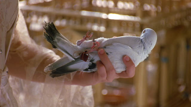 vídeos y material grabado en eventos de stock de medium angle of live white pigeon or bird in human hand. female figuer wears brown shirt with lacy sleeves and inserts small note, message in string attached to foot of bird. delivery. - palomitas
