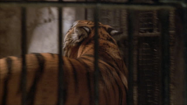 medium angle of tiger moving around inside cage and jumping onto platform. see tiger open mouth and roaring. - tiger stock videos & royalty-free footage