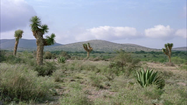 medium angle of arid landscape, could be desert. see cactus, small shrubs, and sparse vegetation. see mountain range in background. - cactus stock videos & royalty-free footage