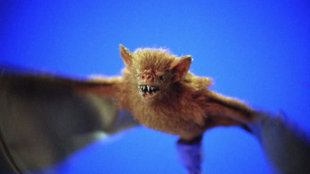 CLOSE ANGLE OF MECHANICAL OR ROBOT BAT WITH FANGS ATTACHED TO METAL ROD FLYING.  BLUE SCREEN. COULD BE VAMPIRE BAT. ANIMATRONICS. BATS.