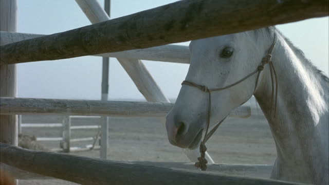 medium angle of white horse with rope halter around its nose. see it against wooden gates of corral with saddle on its back. - sattel stock-videos und b-roll-filmmaterial