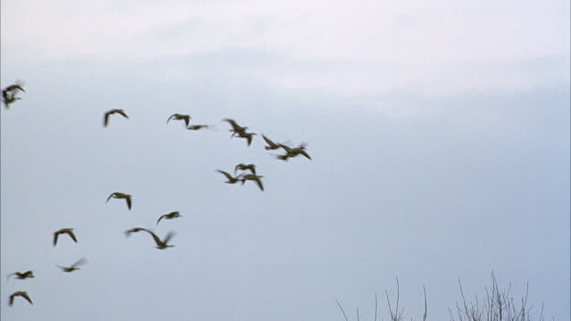 medium angle of large flock of geese flying right in formation across sky. see bare trees on bottom. - medium group of animals video stock e b–roll