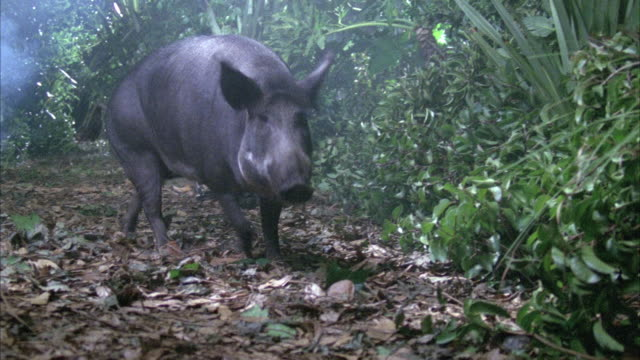 close angle of wild boar walking towards frame in rainforest. stops to sniff ground, then scampers backwards quickly to run, but calms down and exits right. - boar stock videos & royalty-free footage
