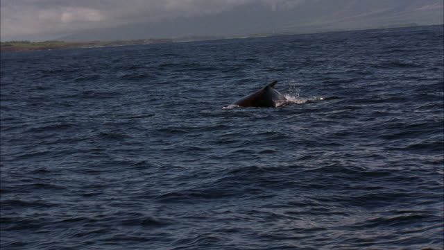 hand held from boat of whale swimming along ocean water's surface near hawaii coastline. see whale's back and dorsal fin. whale emerges then drops back in water as it swims right to left. see whales tail or fluke surface. camera is shaky on animal. - fin whale stock videos & royalty-free footage