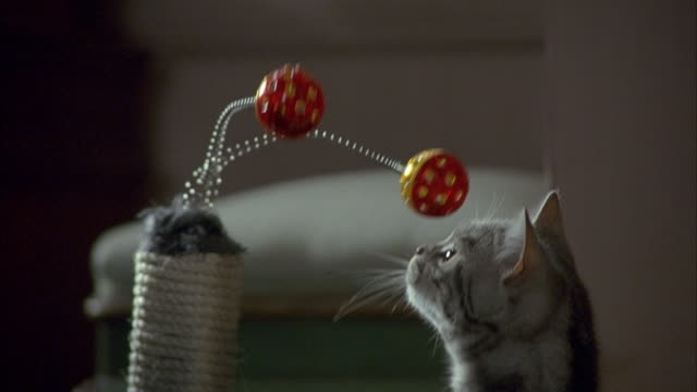 CLOSE ANGLE OF GRAY TABBY CAT PLAYING WITH TOY. SEE CAT GET ON HIND LEGS AND PAW TWO RED AND YELLOW BALLS ON SPRINGS. SEE MAN'S LEGS WALK PAST POV SEVERAL TIMES. END ON RED AND YELLOW BALLS. ANIMAL HANDLER VISIBLE.