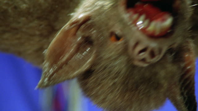 CLOSE ANGLE OF MECHANICAL OR ROBOT BAT'S MOUTH WITH FANGS. COULD BE VAMPIRE BAT. PUPPETEERS ARMS VISIBLE. BLUE SCREEN. ANIMATRONICS. BATS.