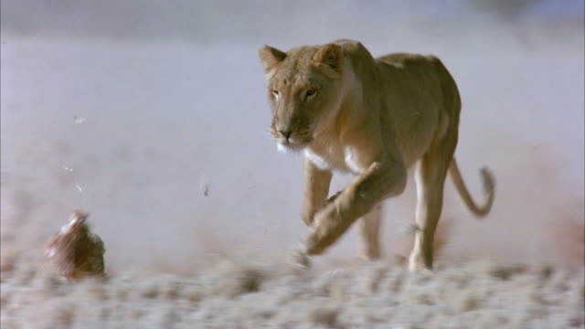 MEDIUM ANGLE OF LIONESS AS IT CHASES AFTER CHICKEN IN YELLOWED GRASS ON PLAINS. SEE ITS GOLDEN FUR SHINE IN THE SUNLIGHT. DUST BILLOWS IN CLOUDS AS THE LIONESS RUNS TOWARD THE CAMERA.